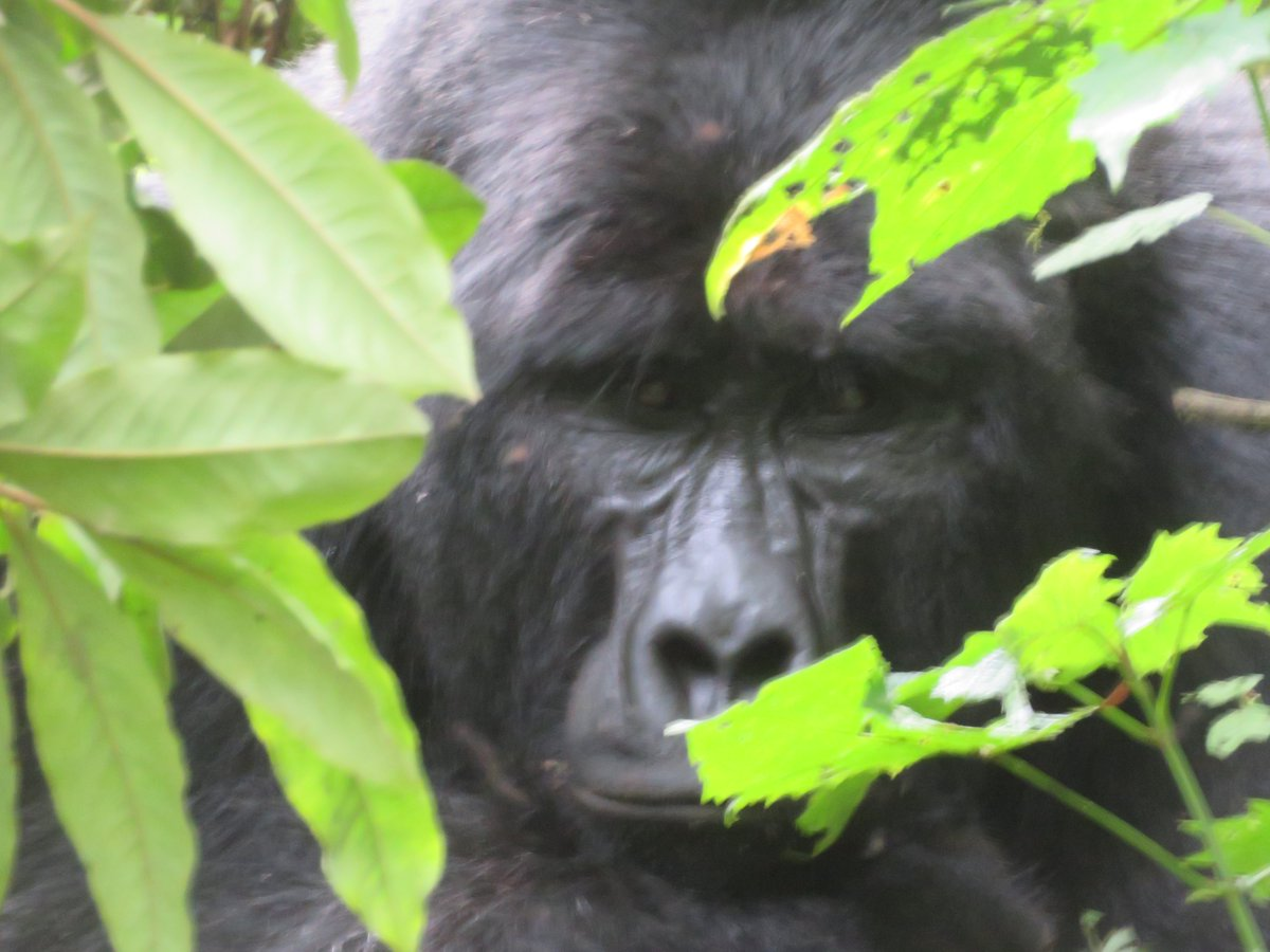 If u ever want to see magic,Then it has to be in Africa   👉https://t.co/MiEJ9p0yyX 👉https://t.co/iGFufZD8cB 👉https://t.co/yVgeZzmR2A #VistUganda #gorillasafarirwanda #gorillasafarisuganda https://t.co/T4SMQNEeEg