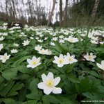 Image for the Tweet beginning: Wood anemones are one of