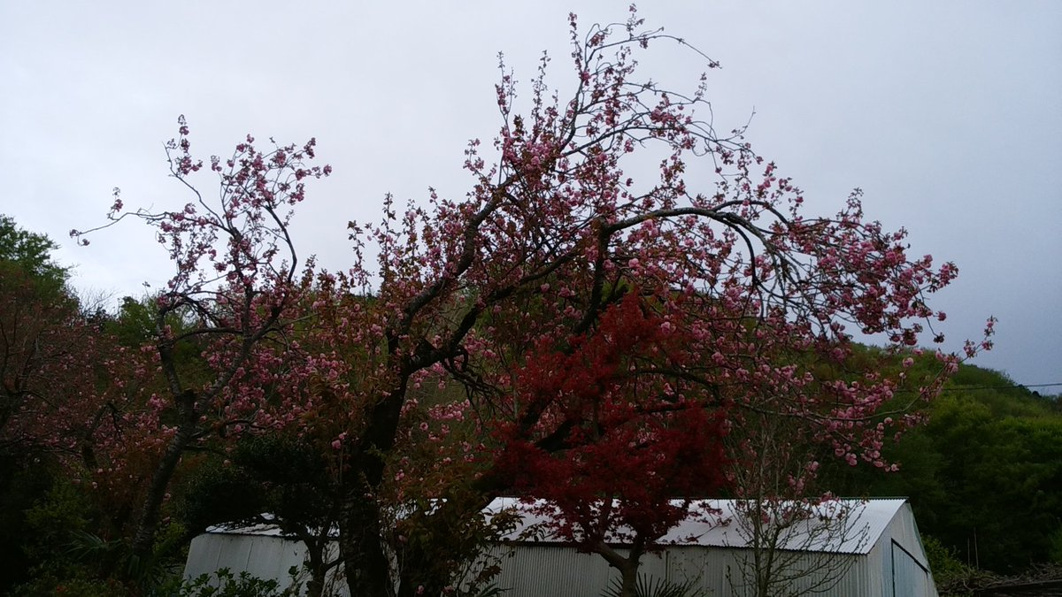 僕が一昨年4月7日の朝と昼に写してきた春🌸の風景です。 1枚目、2枚目、3枚目、4枚目:2018年4月7日 昼 #季節 #四季 #春季 #春 #桜 #木 #撮影 #2018年自分が選ぶ今年の4枚 #2年前 https://t.co/JdtKatQqzG