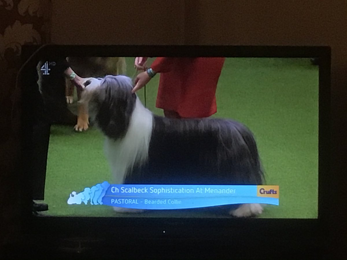 Bearded Collie on Crufts and what is Hudson doing? He's sound asleep! #beardedcollie