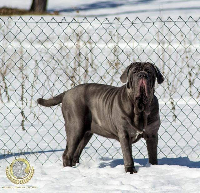 Juno  . .  #neapolitanmastiff #mastinonapoletano #italianmastiff  #neosofinstagram #neapolitanmastiffsworldwide #neapolitanmastifflovers #neapolitanmastiffs #mastiffgram #bigdogs #dog #dogs #mastiff #mastino #mastiffsofinstagram #neo #dogsofinstagra… https://ift.tt/38AXE1Tpic.twitter.com/lJdG4qUEmi