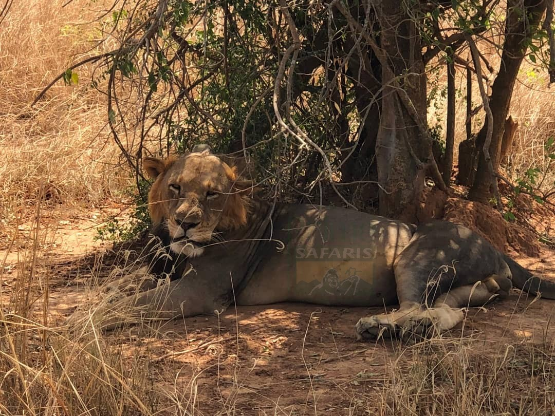 You know you are truly alive when you are living among lions 👉https://t.co/9iTQImaDJa 👉https://t.co/fO8UWQdqoC 👉https://t.co/gFImnvXneQ #uganda safaris #ugandasafaritour #ugandawildlifesafaris #GorillasafarisUganda #GorillatourUganda #GorillatoursUganda https://t.co/W9ggMYSZGN