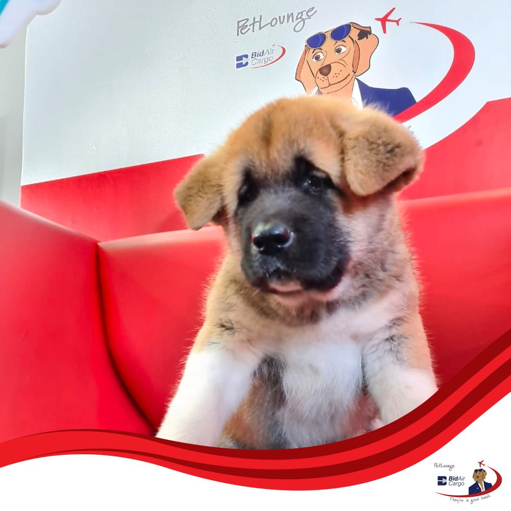 This beautiful furbaby is the son of the popular South African Show Champion, Stevie. It was a pleasure to meet him prior to his flight to Namibia. #PetLounge #AnimalTravel 🐶🐾✈️ #instapaws #petlovers #loveforpets #animaltransportation #animals #petsofinstagram #pets https://t.co/MLPz7gJbFt