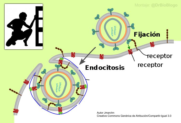 Virus invade célula