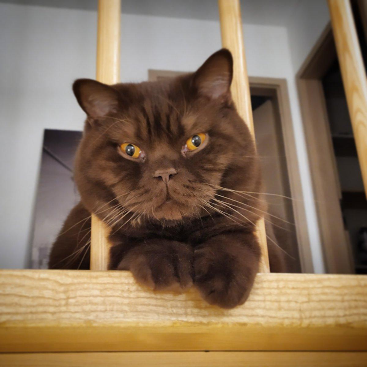 Löwe  im Käfig #katzen #katzenliebe #kitty #cute #petstagram #lovecats #catphoto #catworld #animal #stubentiger #hauskatze #britishkurzhaar #meinekatze #löwe #tierfotografiemitherz #bestanimalpics #simbapic.twitter.com/380sZLczRX