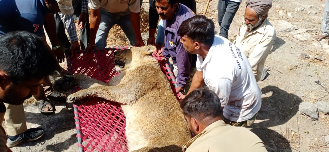 Lioness that fell in farm-well near Gir forests while chasing a goat rescued in injured condition