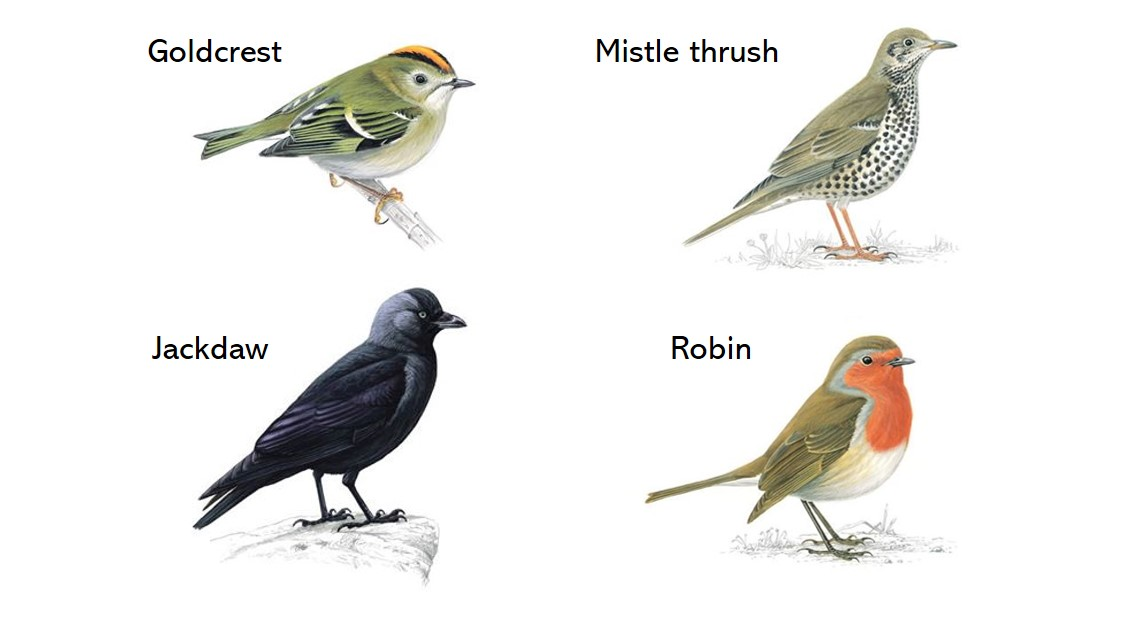 These are the main bird species you can hear in our clip 👂🎶 Pictures from @Natures_Voices excellent A-Z guide to birds, you can check it out (and listen to calls/song) here: rspb.org.uk/birds-and-wild… @WWoodlanders @WoodsRingland @NorfolkNats @NorfolkFWAG @WVANorfolk @NorfolkWT