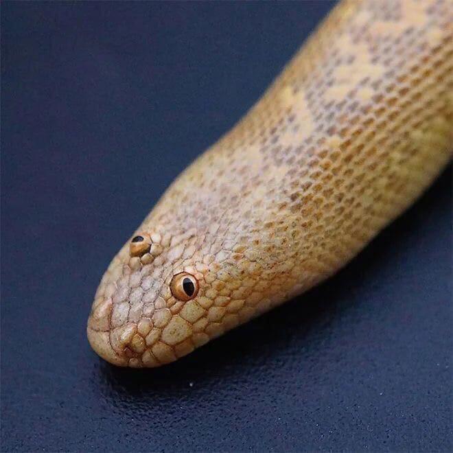 песчанка фото змея центре композиции установлены
