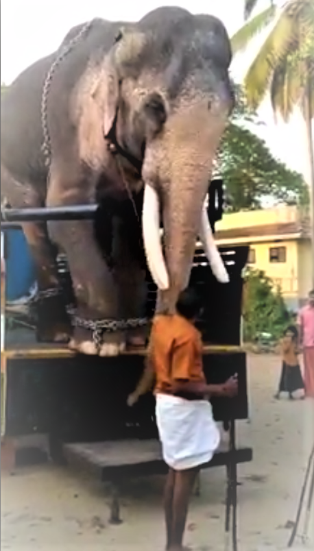 Colby Steiner On Twitter After A 13 Month Ban Was Lifted By Thrissur District Administration This Skinny Blind And Toothless Elephant Started Its Journey To The Thriprayar Sreeramaswamy Temple With Extra Photo of elephant with golden decoration on head during elephant festival in ernakulam, kerala. thrissur district administration