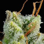 Image for the Tweet beginning: 5 cannabis strains for people