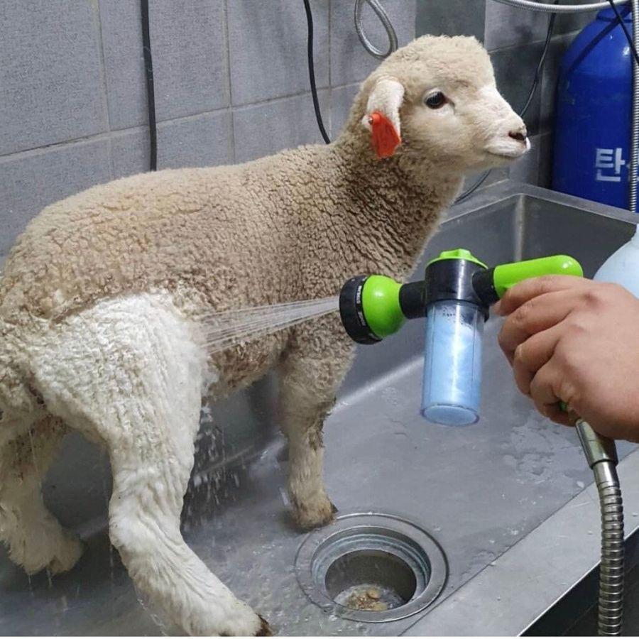 처음 목욕을 하는 양