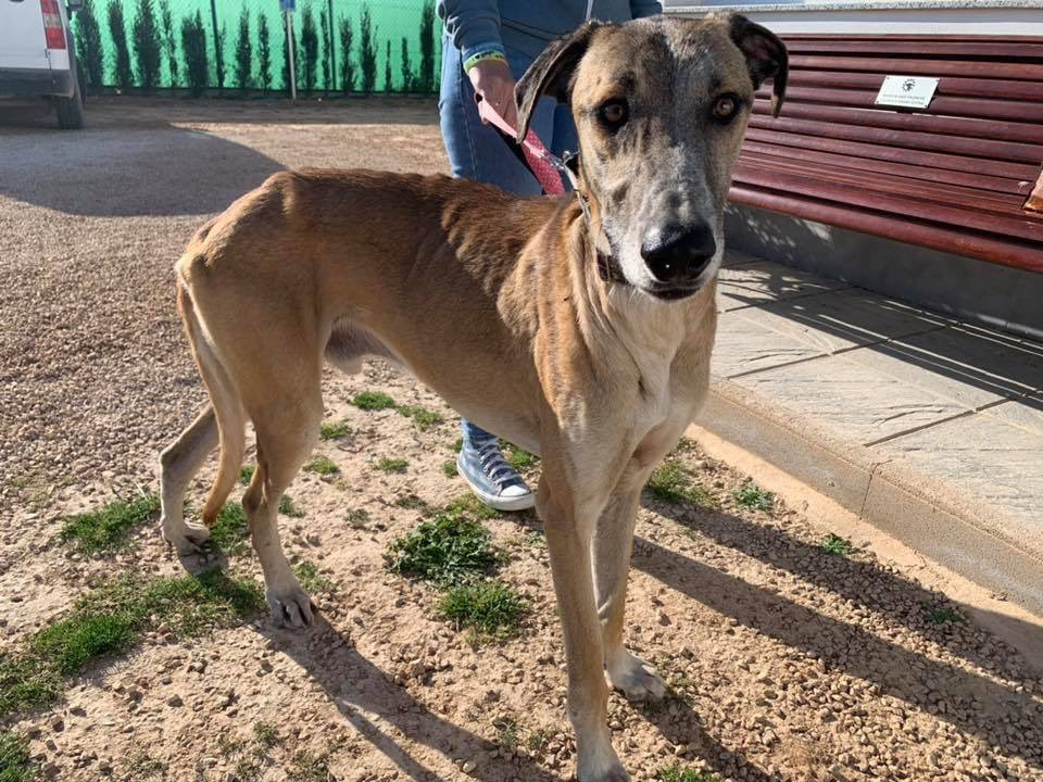 New boy Rochester was caught on the streets just last night. You can see he was starving but now he's safe at GdS❤️A large galgo cross probably mixed with a bit of mastín & other breeds and he's lovely & sociable. Let's find him a home! Please share him