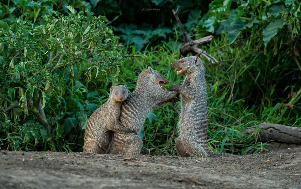 #FamilyArguments- Whose side do you take, Mum or Dad? The #Uganda banded #mongoose is common along the #MweyaPeninsula https://t.co/8ZdKqr2X02 #UgandaWildlifeSafaris #Wildlife #Safari #Tours #VisitUganda https://t.co/AJGElKIm9k