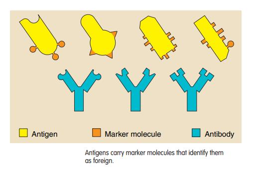 """Un componente fundamental del sistema inmunitario son los llamados """"anticuerpos"""""""