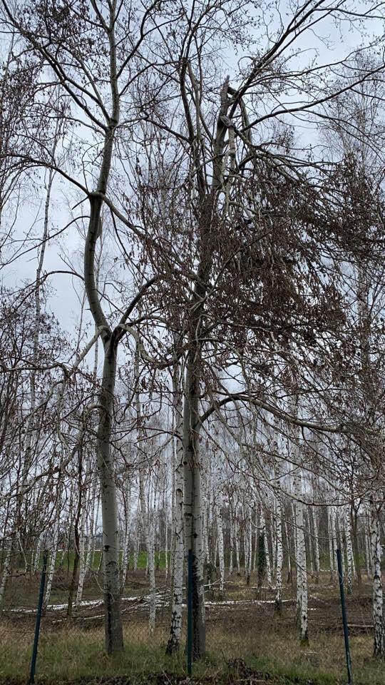 We zijn gestart met de jaarlijkse controle  en  onderhoud van alle bomen rondom en in de omgeving van Flughafen Berlin Schönefeld (SXF). Inmiddels een vaste klus die we elk jaar weer met veel precisie uitvoeren! ✈️🌿👊 #flughafen #berlin #baumpflege #deutschland #bkc