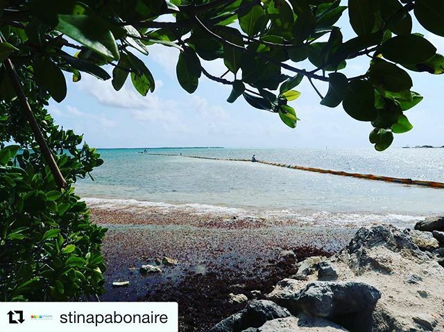 test ツイッターメディア - #Repost @stinapabonaire・・・Biologists and Marine Park Rangers have been working hard as well! One of the projects we're working on is monitoring sargassum in Bonaire with the support of the harbour master. After investigating how the current moves in Lagun, we were able to … https://t.co/GVeOLDGwm4