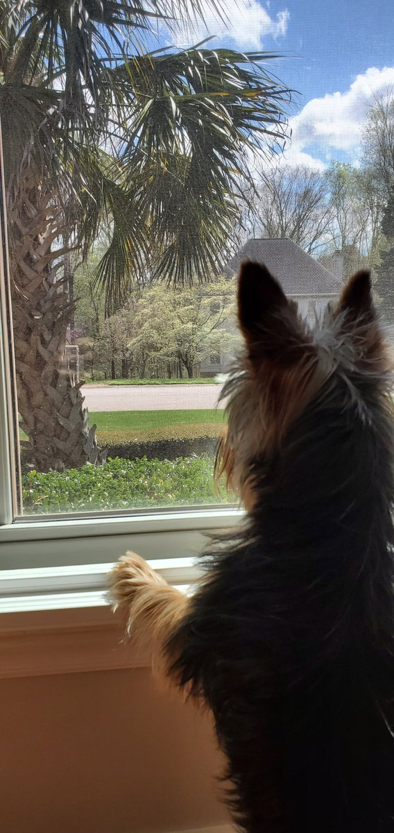 Current status.... LET ME OUT!!!. #QuarantineLife #yorkie #yorkiesoftwitter #yorkshireterrier #dogpic.twitter.com/Vh5oHAm81R