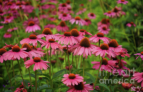 """The season is over for these beautiful flowers but this image lives on! - """"Coneflower Garden"""" -  @shoppixels  #coneflower #echinacea #garden #flowers #pink #purple"""