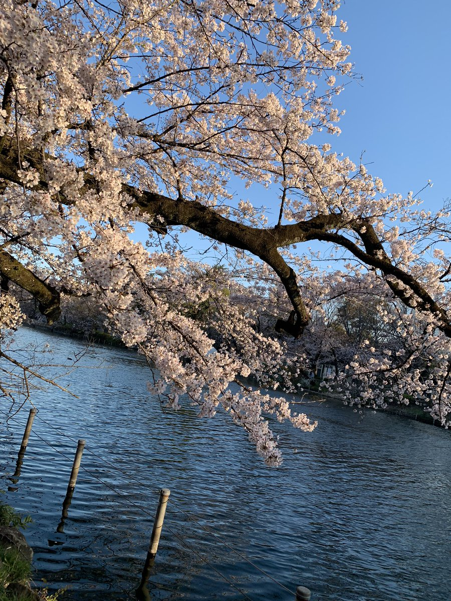 The flowering of the beautiful sakura cherry blossoms is premature this year in the Inokashira Park.  #cherryblossom  #桜 #井の頭公園 pic.twitter.com/j5ci2sBqQL