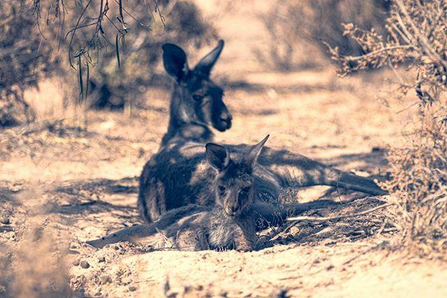 26.01.20 | http://bldfvr.smugmug.com  #animalgram #animalpics #wildlife_vision #wildlifepictures #wildlife_captures #wildlifeshots #igscwildlife #ignature #instanature #naturelife #wildlifephotographyofinstagram #wildlifestuff #amazingcreatures #animal… https://ift.tt/2wmWVEDpic.twitter.com/4nLZ6XmU71