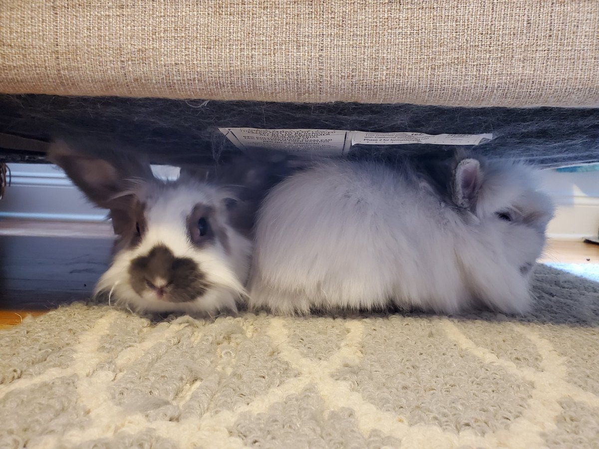 Pizookie and the twins are pros at sheltering in place! 🐰🐰🐰 #MammalMonday