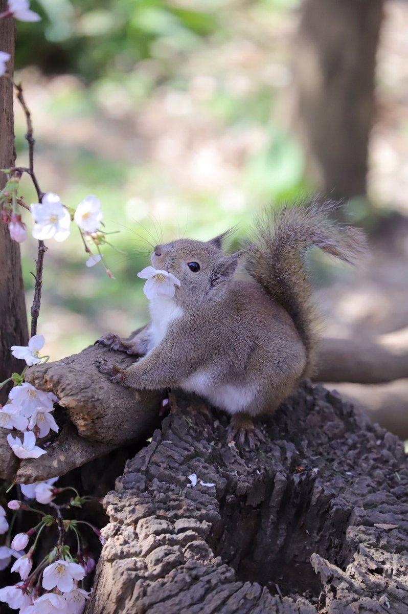 お花をくわえたり おりぼんにしたり #井の頭自然文化園 #リスの小径 #ニホンリス #リス #桜pic.twitter.com/8TQDWa27aU