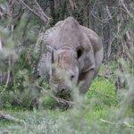 Image for the Tweet beginning: Namibia's black rhino (Diceros bicornis