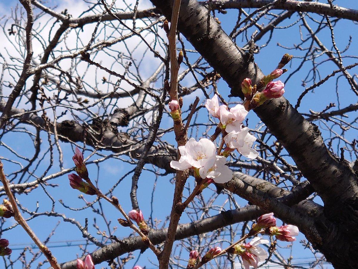 2020.03.23  八尾 長瀬川 咲き始めの桜が ちらりほらりと 咲いていました。 #八尾 #長瀬川pic.twitter.com/Q75uxR44JS