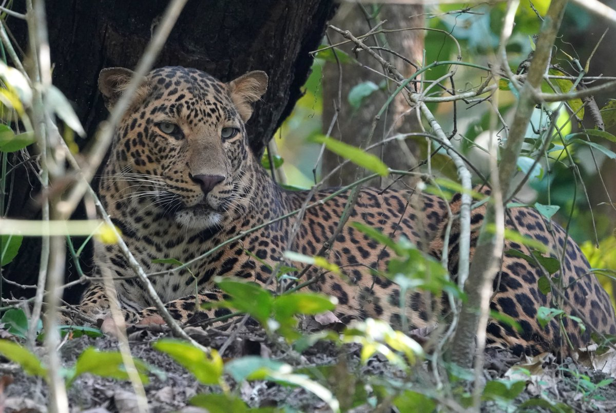 #PantheraPardus or Leopard is one of the five species of the genus Panthera. The lush jungles of #ChitwanNationalPark of Nepal's Terai are home to the largest population of these exotic cats. The species has been listed Vulnerable in the Red List of IUCN.  PC: Utsab Jung Thapa pic.twitter.com/0GWzmePbLw