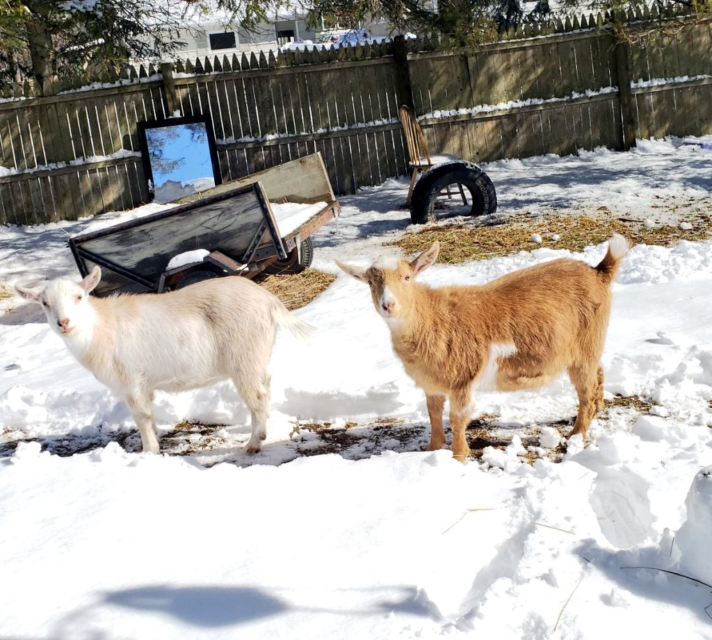 Mom cleared us a path and it's melting pretty fast #goats #tuesdayvibes #Snow pic.twitter.com/42Surzfazu