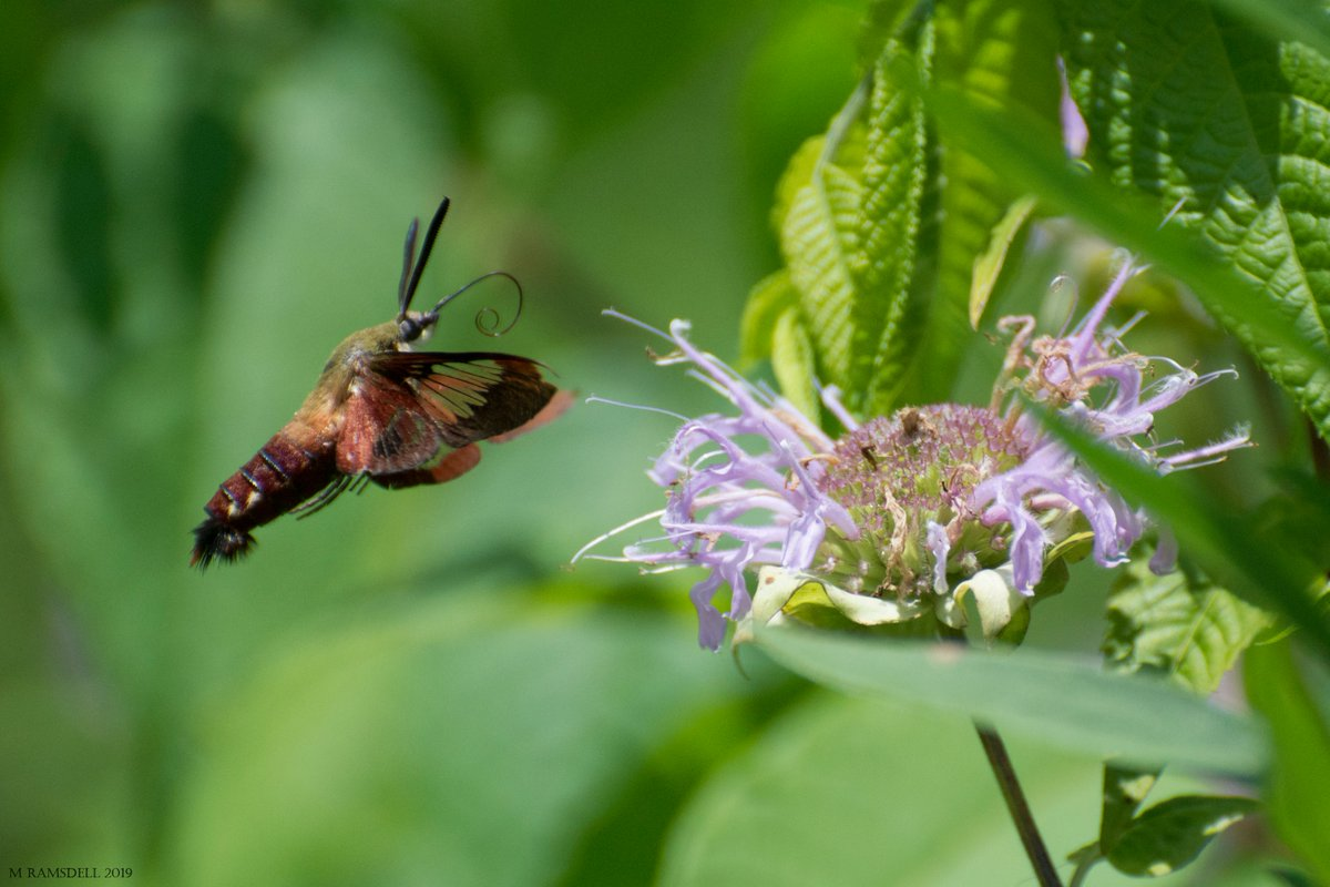 Butterfly 2019-231 Hummingbird Moth #mramsdellpics #photography #butterfly #butterflies #animals #insect #insects #nature #macro #beauty #beautiful #pretty #wildlife #hummingbird #moth #zen #photooftheday #dailyphoto #fotografía #piclogy #PhotoRTG #ThePhotoHour #500px #500pxrtgpic.twitter.com/SR2CqcUP8Z