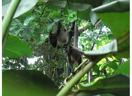 """A3: Spider monkeys have a flexible, fission-fusion social organization! """"Fission-fusion"""" means that the social grouping change, and monkeys can come together and split apart (Photo: @MARspidermonkey). #PrimatePlaytime #PrimateTrivia #Primatology #SciCommpic.twitter.com/VXbQzZNLpl"""