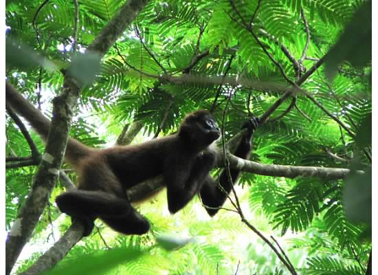A3: Fission-fusion organization can be hierarchical, where there are stable core groups that join larger groupings, or flexible, where there are no set core groupings (Photo: @MARspidermonkey). #PrimatePlaytime #PrimateTrivia #Primatology #SciCommpic.twitter.com/6gOmU7eqHf