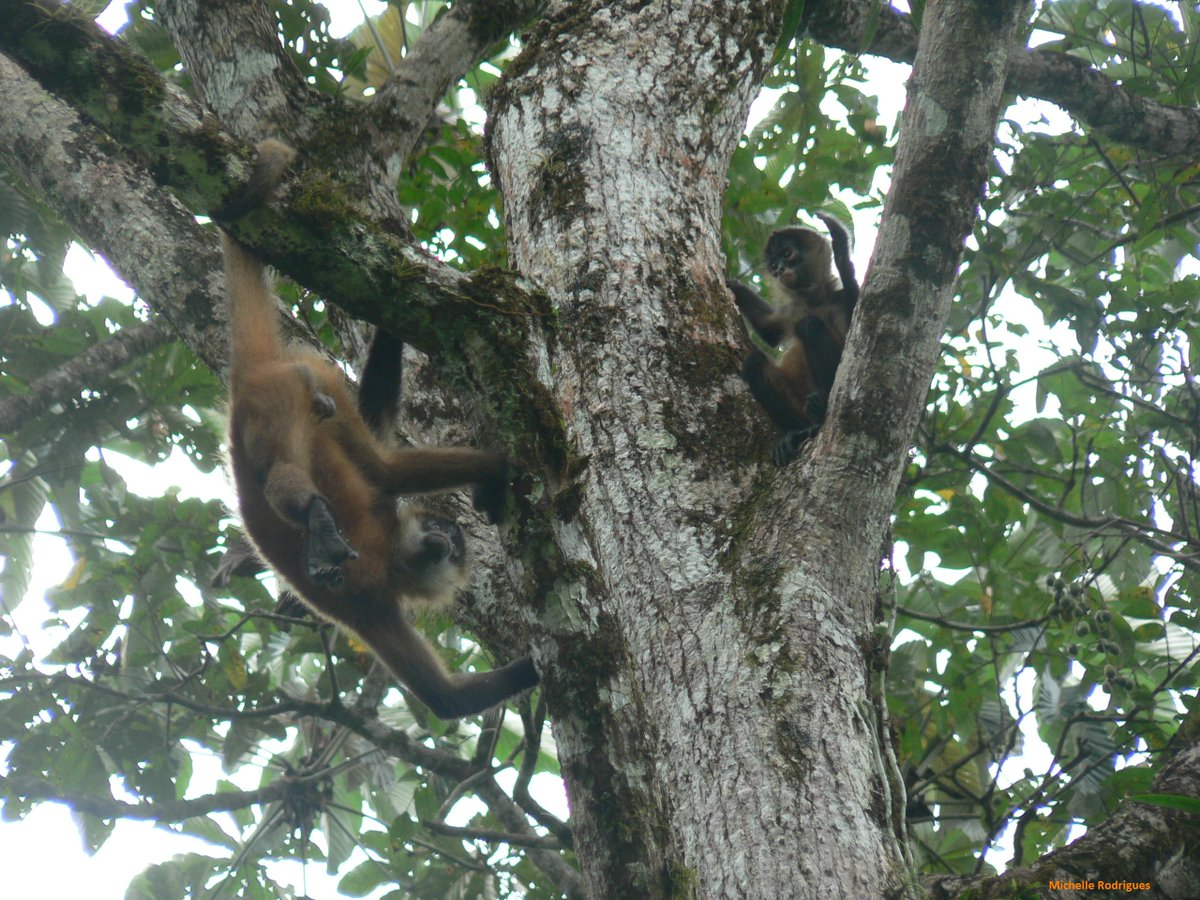 A5: Most of you got this wrong! Geoffroy's spider monkeys weight approximately 6-9 kg, or 30-40 stoats (Photo: @MARspidermonkey)! #StoatsAsAMeasurement #PrimatePlaytime #Primatweeps #PrimateTrivia #Primatology #SciCommpic.twitter.com/fNbqpU8QFL