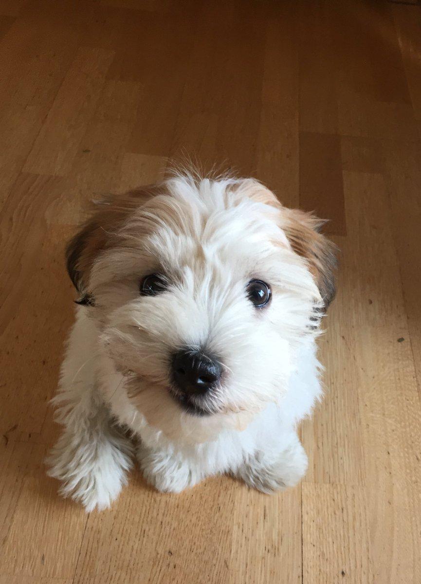 -frida wishes you a good Start into the day!#dog #havaneser #dogsoftwitter #cute #funny #happydog #teamdog #doglover #pet #animal #happyday #wednesdaypic.twitter.com/dRz5VthkZg