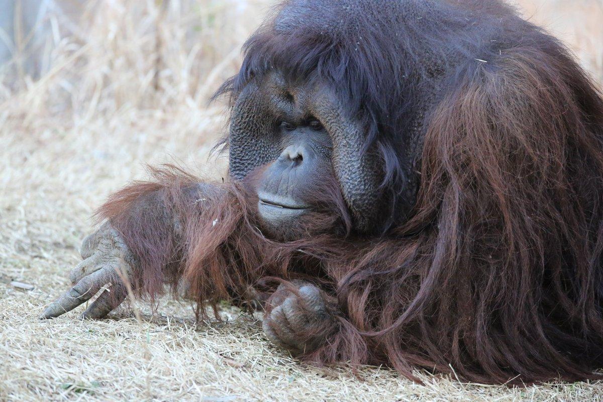 朝晩が寒いのでまだヒートテックが脱げないているちいくまです。お疲れさまでした。 #絶滅から動物を守る  #動物園写真家  #動物写真  #ズーラシアpic.twitter.com/TvC2mPsnlX