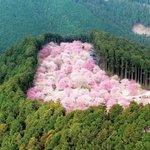 美しい山桜の光景・とっても素敵!ピンクがぎっしり・・・!