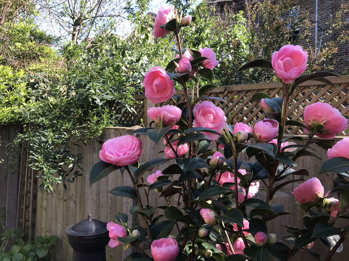 Our Camellia obviously hasn't heard about the virus, or it doesn't care! It simply wants to celebrate Spring!