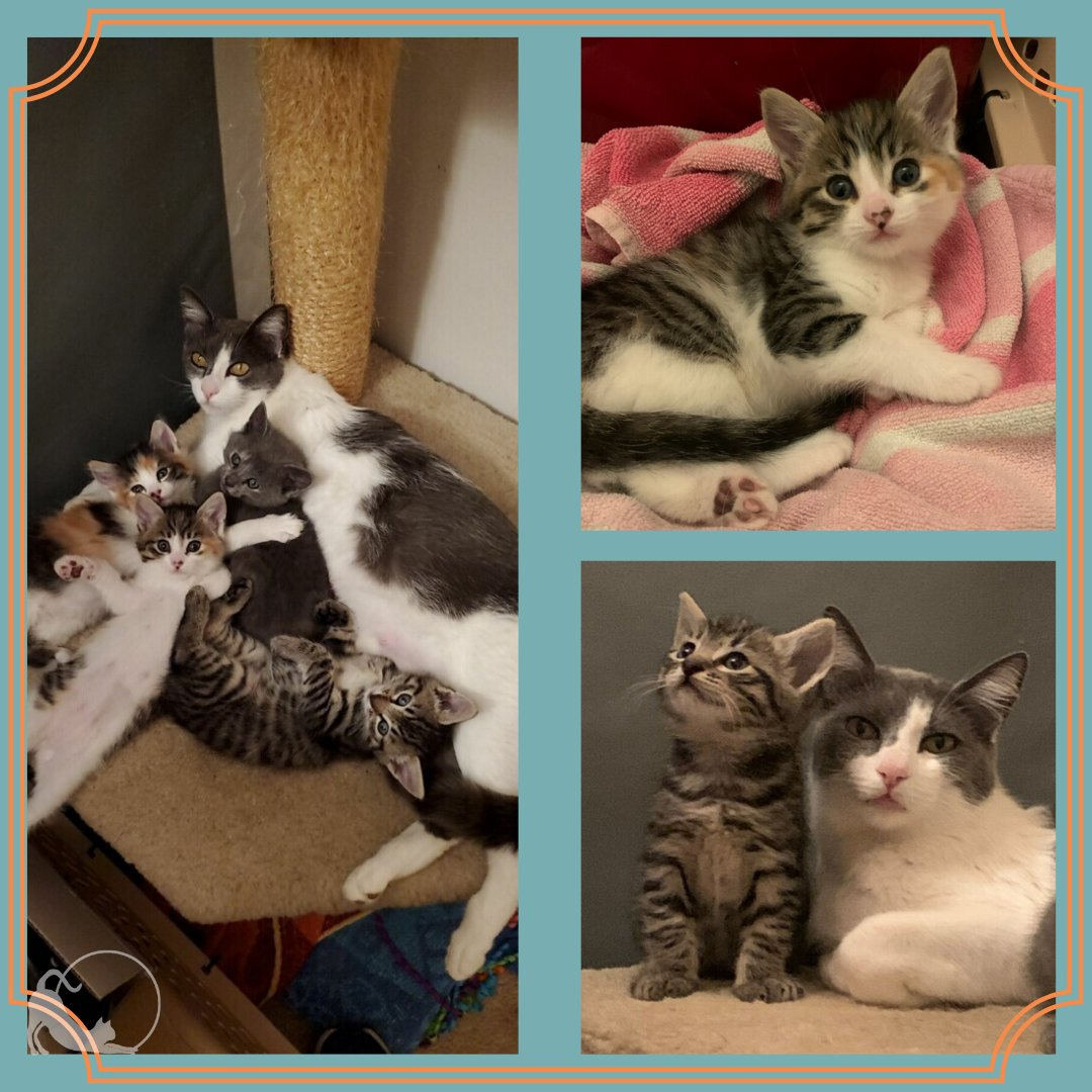 Winnie and her #kittens are doing really well in #foster! Farmall (Tabby), J.D. (Grey), Scribbles (Calico), Hessie (Tabby-Calico)  #towncats #fostertoadopt #adoptdontshop #fosteringsaveslives #catshelter #socialdistancing #fosterkittens #rescue #momcat #kittenlove #bottlebabiespic.twitter.com/M02ts5dpRZ