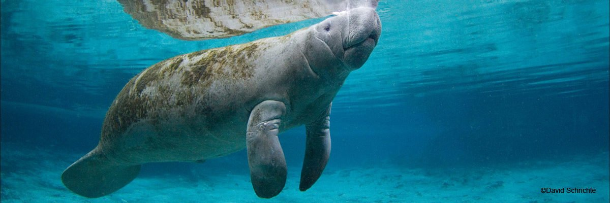 Manatee  One of my favorite #seacreatures                          and as enthusing as #sunfish'es #ManateeAppreciationDaypic.twitter.com/DArjEd20nY