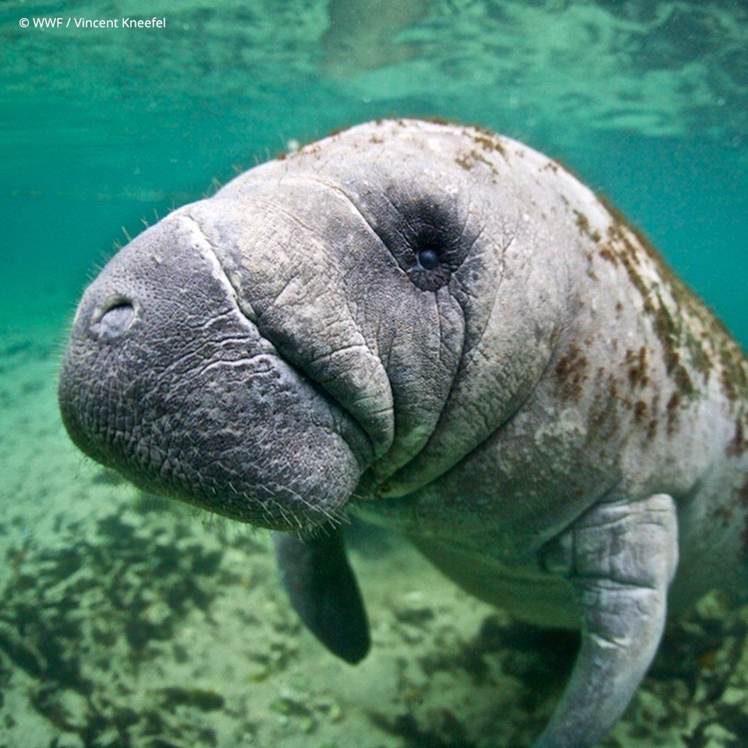 @World_Wildlife's photo on #ManateeAppreciationDay