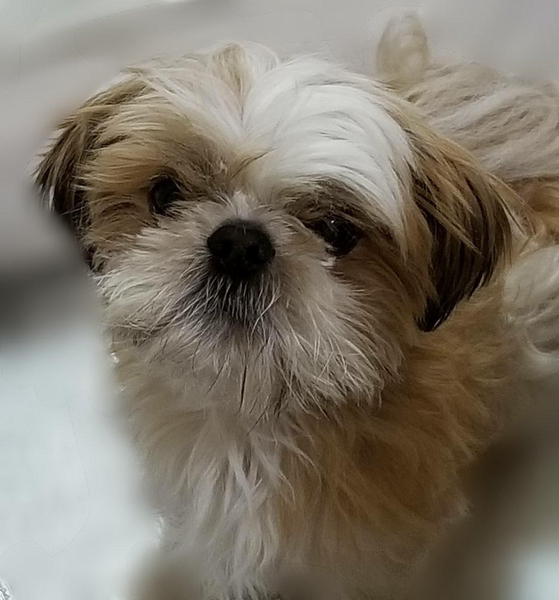 今晩は比較的安定した状態で過ごしてくれたしーちゃん。 良かった~ しーちゃんが安定してくれてるだけで、幸せです  #シーズー #しーずー #鼻ぺちゃ #犬好きさんと繋がりたい #犬のいる暮らし #犬好きな人と繋がりたい #犬好き #犬のいる生活 #犬  #クラウドファンディングpic.twitter.com/gxJREMpzJw