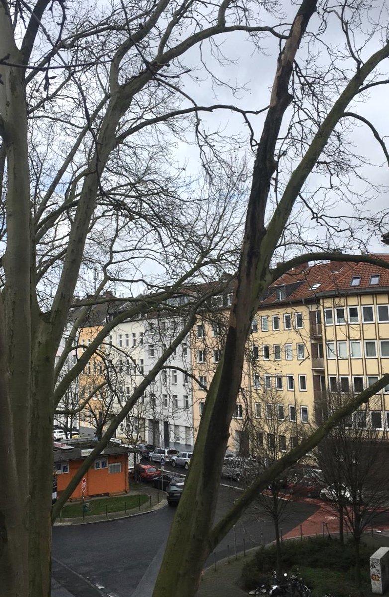 Intussen in Stadt Düsseldorf...zijn we afgelopen maandag weer gestart met de eerste ronde Massaria controle. One down, many more to go. #baumpflege #dusseldorf #bkc #Deutschland