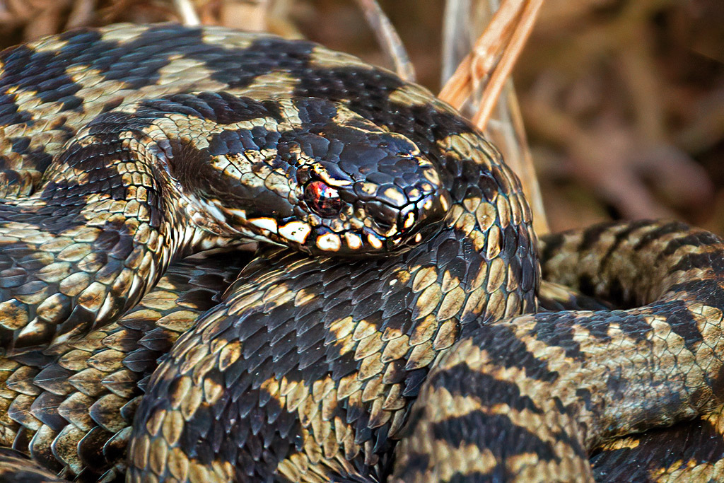Male Common Adder (Vipera berus) Taken on Cannock Chase from a safe distance, so as not to disturb it. Large crops to image. 12/03/2020 #Adder @StaffsWildlife https://t.co/wf4MUebu7a
