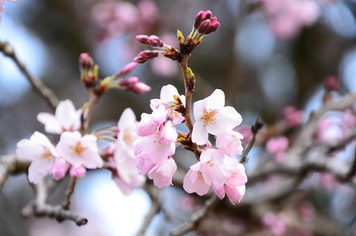 """✿「風 Ⅳ」✿ on Twitter: """"🐇 ◇3月14日の誕生花 ~江戸彼岸~ ◇花 ..."""