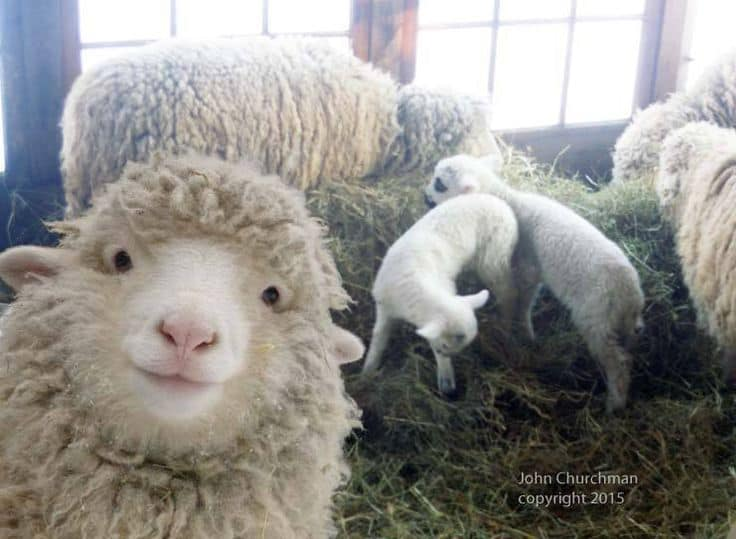test Twitter Media - RT @metraux_julia: Please enjoy this sheep https://t.co/IX3pswVCiD