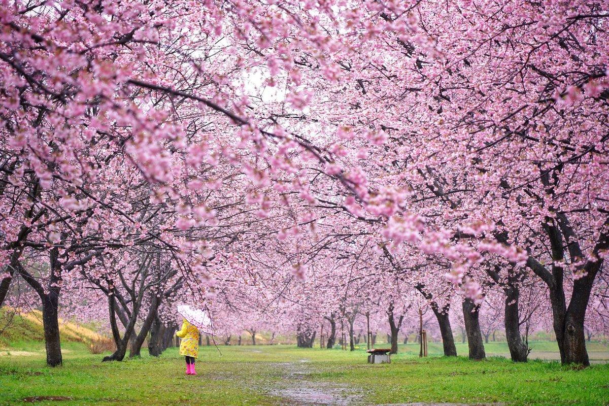 桜 北浅羽桜堤公園  #photo #photooftheday #igersjp #instagramers #ファインダー越しの私の世界 #東京カメラ部 #ig_japan #tokyocameraclub #japan #indies_gram #instagramjapan #igrecommend #sonya7iii #sonyalpha #streetphotography #sakura #桜 #北浅羽桜堤公園pic.twitter.com/yv2mrhPUyV