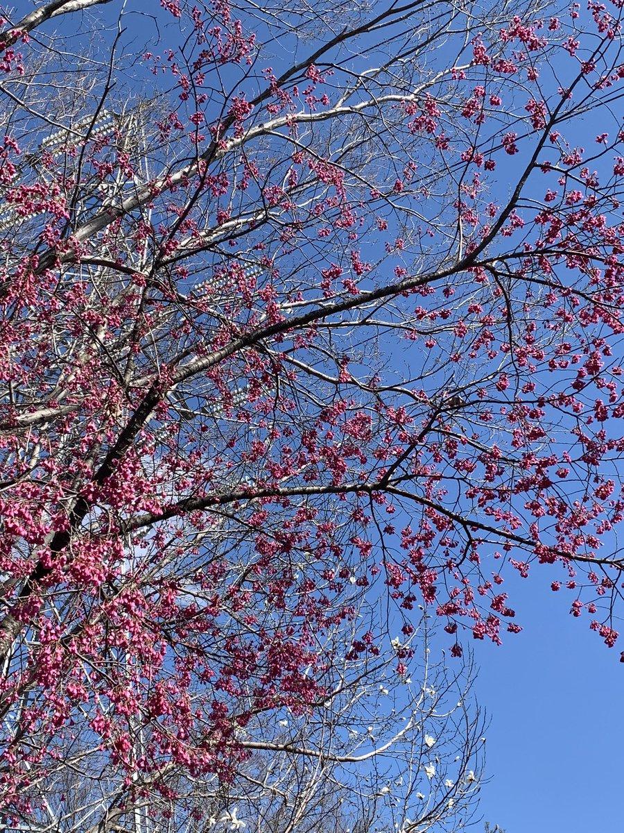 お墓のそばの寒緋桜が満開🌸