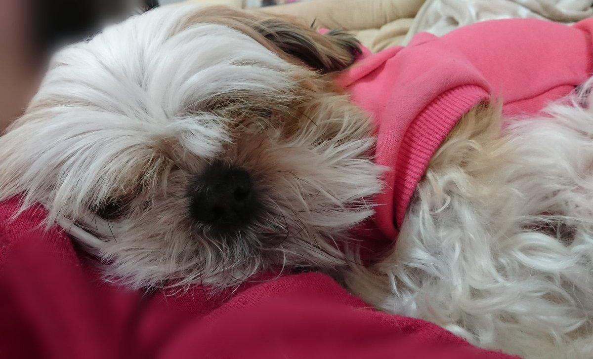 今日は朝にすごく咳が激しくて、主人もちょっとパニックでした… 昼からは落ち着いてます… 寿命が縮む思いです…  しーちゃん、私の肩を枕に眠るの図(笑)  #シーズー #しーずー #犬のいる暮らし #犬好きな人と繋がりたい  #クラウドファンディング  挑戦中  #拡散希望pic.twitter.com/nNpfesC8xh