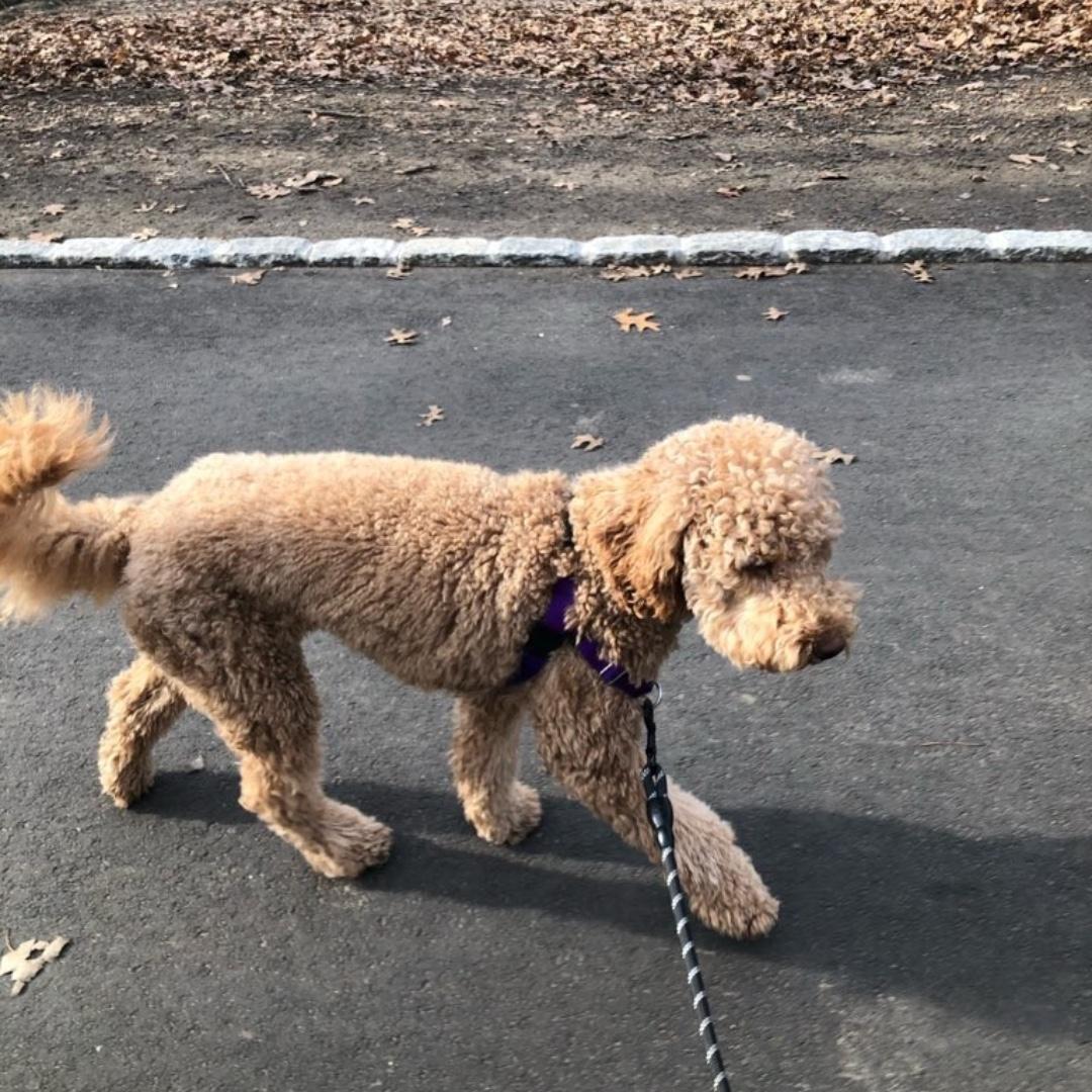 Sasha wishes you a happy end of the day! #goldendoodle #maythepawsbewithyou #lukedogwalker #dogwalkeruws #happydog #uws #doggy #doggo #furbaby #dogcity  #puppy #puppylover #ilovedogs #sweet #whatabeauty #nycitydog #sweetdoggo #endoftheday #cutedog #cutepic #dogsofinstagram